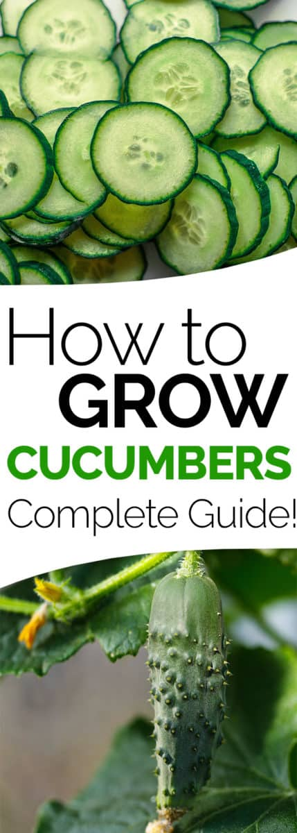 How To Grow It And How To Use It For: How To Grow Cucumbers