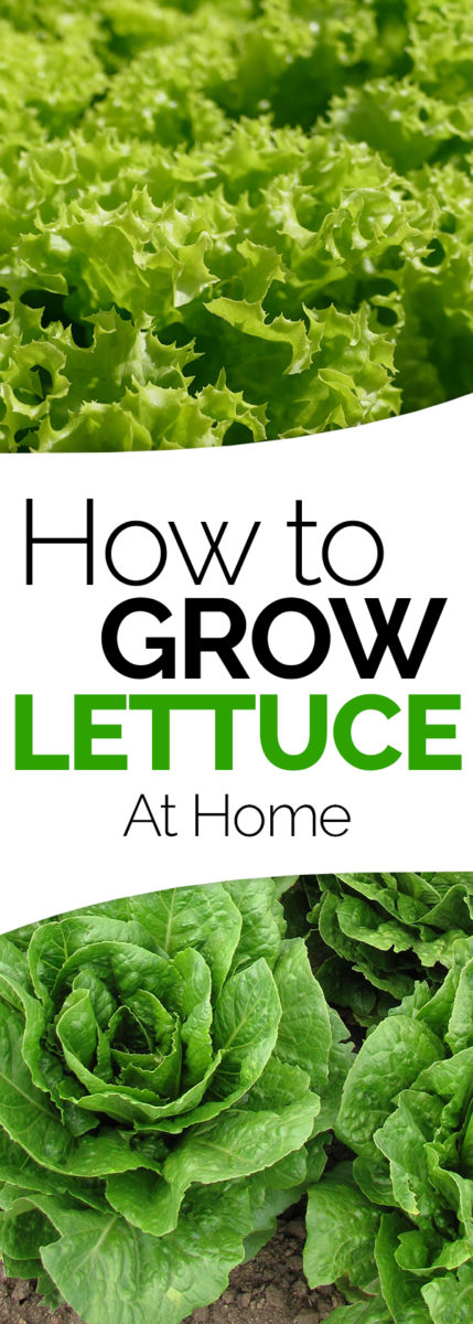 How To Grow It And How To Use It For