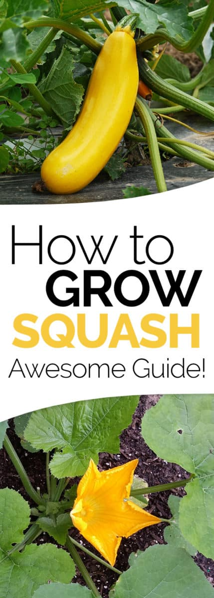 How To Grow It And How To Use It For: How To Grow Summer Squash