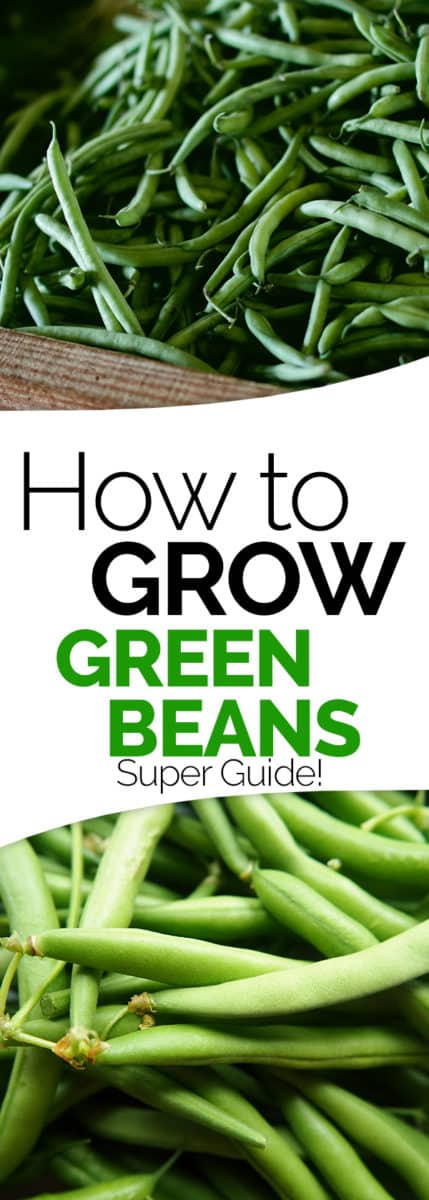 how to grow green beans string beans