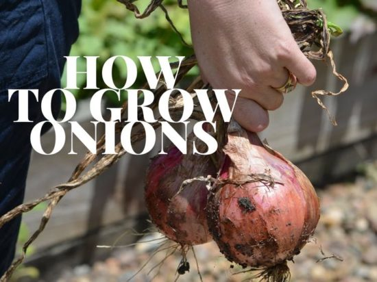 how to grow onion plants