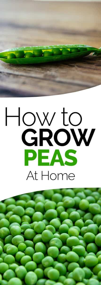 how to grow peas in the home vegetable garden