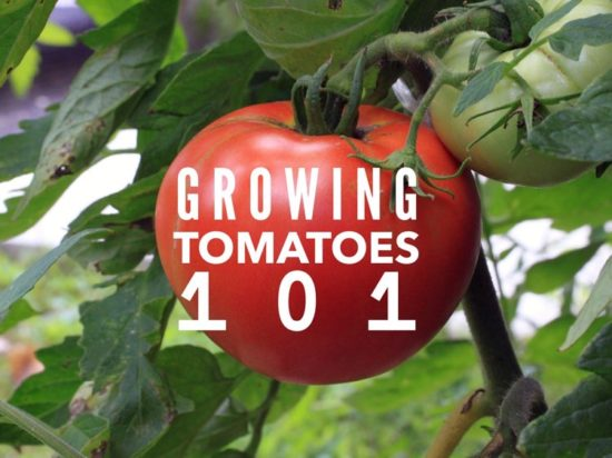 how to grow tomatoes in the vegetable garden